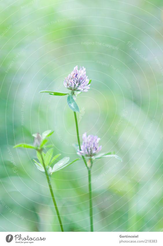 Nature Flower Green Plant Summer Leaf Blossom Environment Clover Cloverleaf Clover blossom