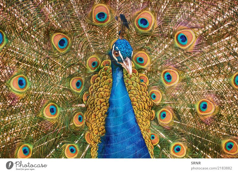 Portrait Of The Peacock Nature Bird Wild ceremony courtship display courtship ritual covert featheranimal avian avifauna covert feathers extravagant tail