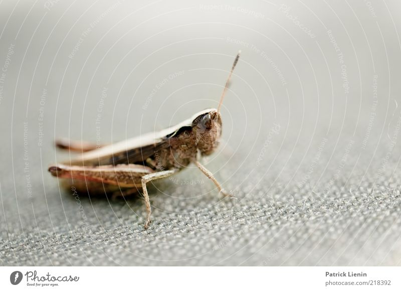 inquisitorial Environment Nature Animal Wild animal Animal face 1 Jump Locust Feeler Insect Looking Curiosity Compound eye Gray Abrupt Nerviness Beautiful