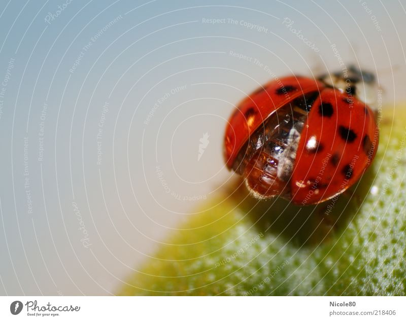 Green Red Leaf Animal Glittering Insect Cute Beetle Ladybird Departure Light Macro (Extreme close-up) Spotted Copy Space left Part of the plant