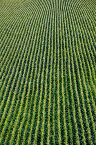 maize field Vegetable Nature Autumn Plant Foliage plant Maize Maize field Corn cob Field Green nikonic Infinity Early fall Maize plants Corn kernel Direct