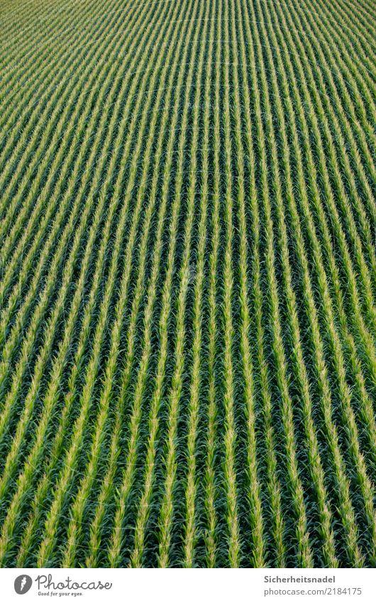 Nature Plant Green Autumn Field Infinity Vegetable Direct Foliage plant Early fall Maize Maize field Corn cob Corn kernel Maize plants
