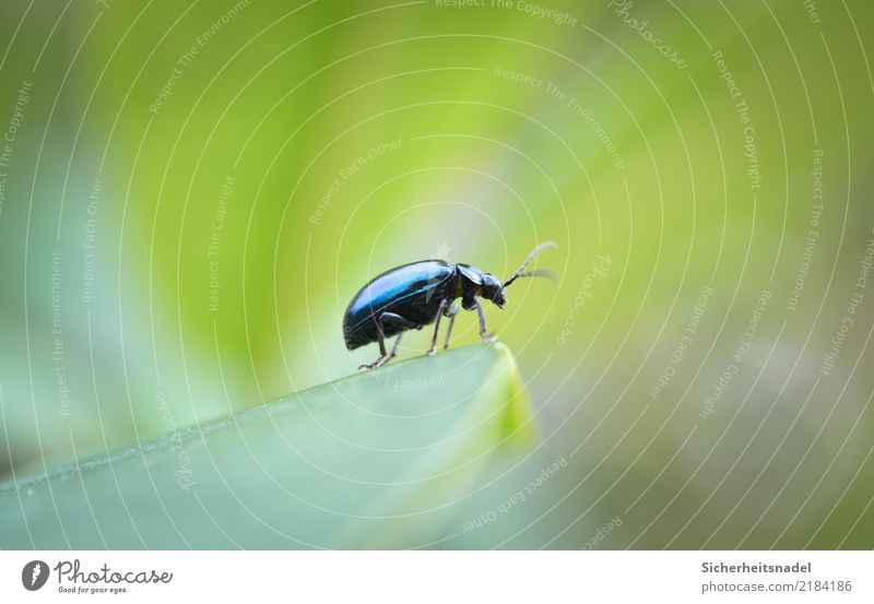alder beetle Nature Garden Beetle Discover Looking Wait Blue Green Insect Colour photo Exterior shot Close-up Macro (Extreme close-up) Deep depth of field