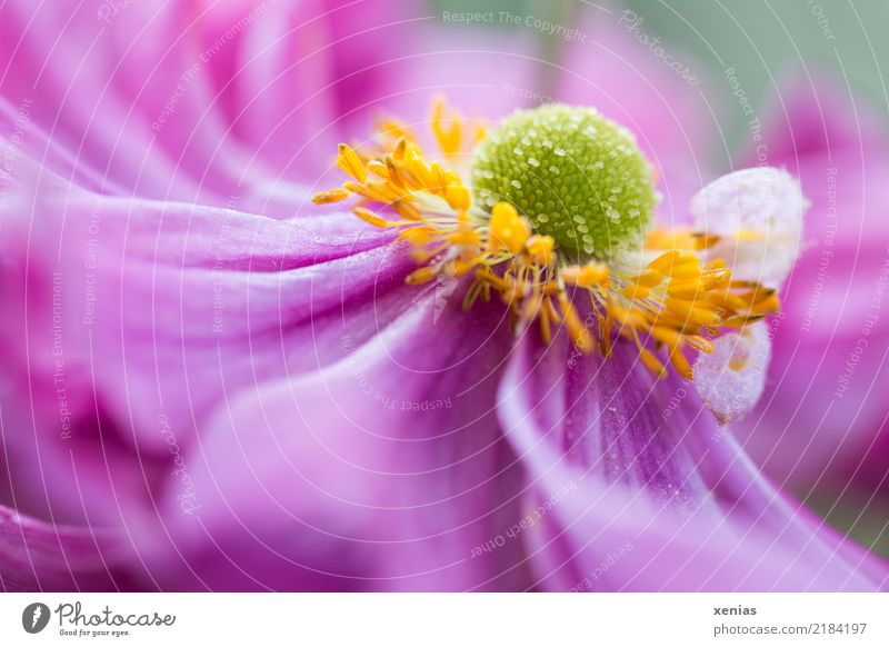 Pink Anemone Spring Summer Flower Blossom Garden Park Soft Yellow Green Card Colour photo Exterior shot Shallow depth of field