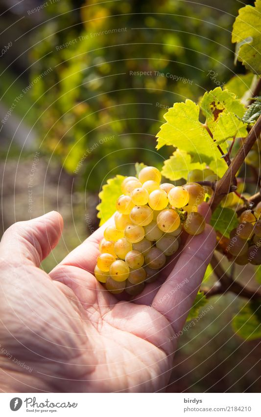 looks good Wellness Cure Agriculture Forestry Winegrower Masculine Hand 1 Human being Autumn Beautiful weather Agricultural crop Vineyard Wine growing