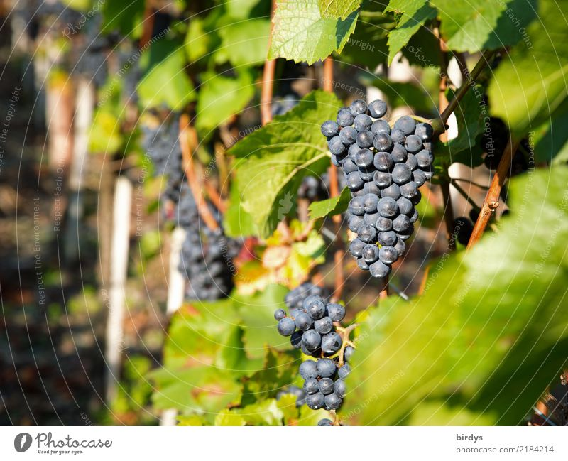 Ripe for the press Fruit Wine Cure Agriculture Forestry Winegrower Leaf Agricultural crop Vine Bunch of grapes Authentic Fresh Delicious Positive Juicy Sweet