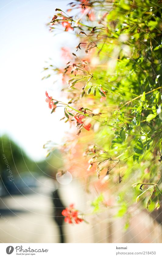 Nature Flower Green Plant Red Summer Leaf Street Autumn Blossom Wall (barrier) Warmth Environment Growth Blossoming Illuminate