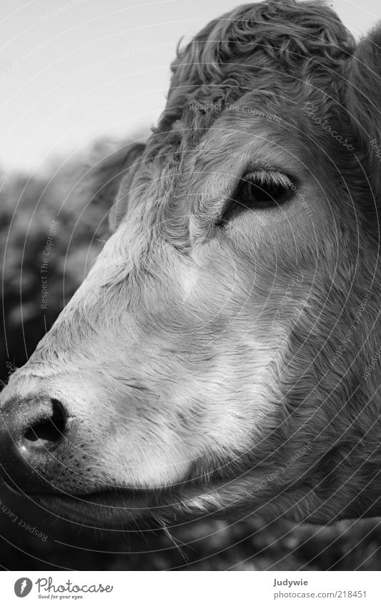 The sad cow Animal Farm animal Cow Animal face Pelt Looking Sadness Natural Cattle Cattle farming Black & white photo Exterior shot Close-up Deserted Day
