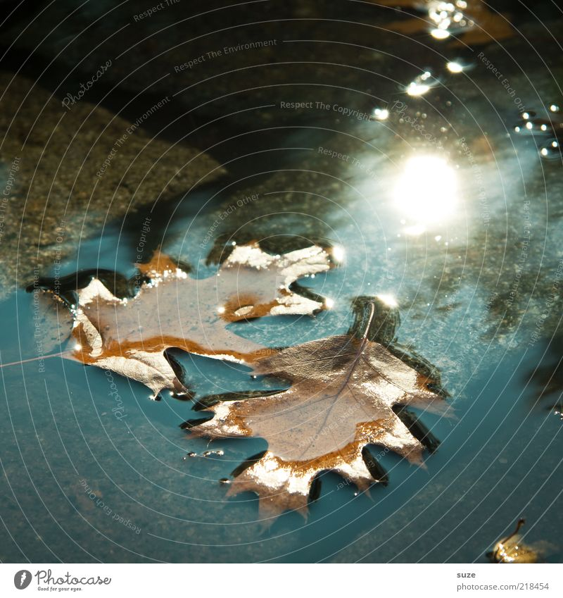 doubles Sun Water Autumn Climate Leaf Wet Natural Beautiful Brown Autumn leaves Puddle Surface of water Oak leaf Early fall Cobblestones Ground In pairs
