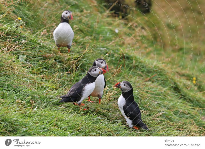 Puffins oOOO Grass Coast Island Iceland Wild animal Bird Lunde drunk 4 Animal Observe Communicate Stand Together Small Near Cute Contentment Romance