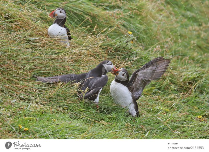 Puffins o/O\ o// Nature Grass Coast Heimaey Iceland Wild animal Bird drunk Lunde 3 Animal Observe Touch Communicate Argument Free Together Beautiful Near