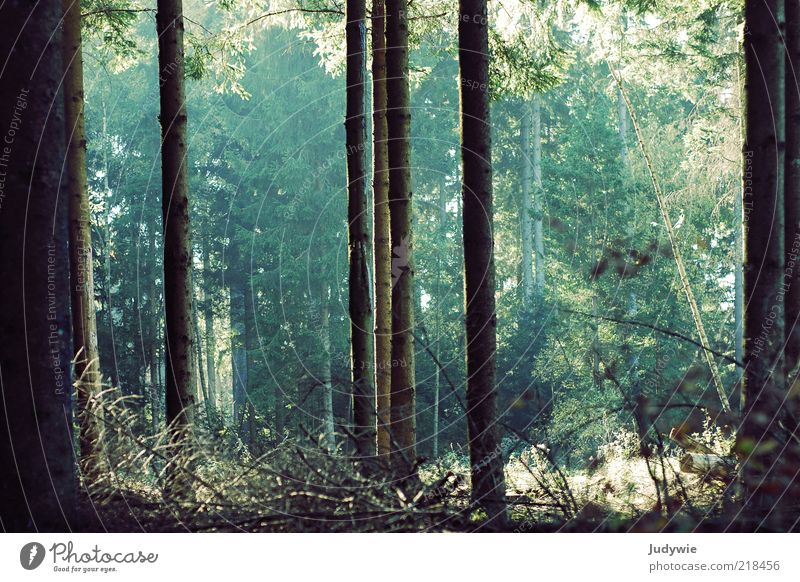 In the magic forest Environment Nature Summer Autumn Plant Tree Fir tree Coniferous trees Forest Growth Old Large Green Moody Tree trunk Direct Parallel