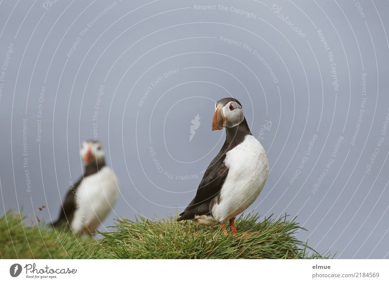 Puffins o O Grass Coast Ocean Atlantic Ocean Heimaey Wild animal Bird Lunde Observe Looking Stand Free Beautiful Small Natural Happy Joie de vivre (Vitality)