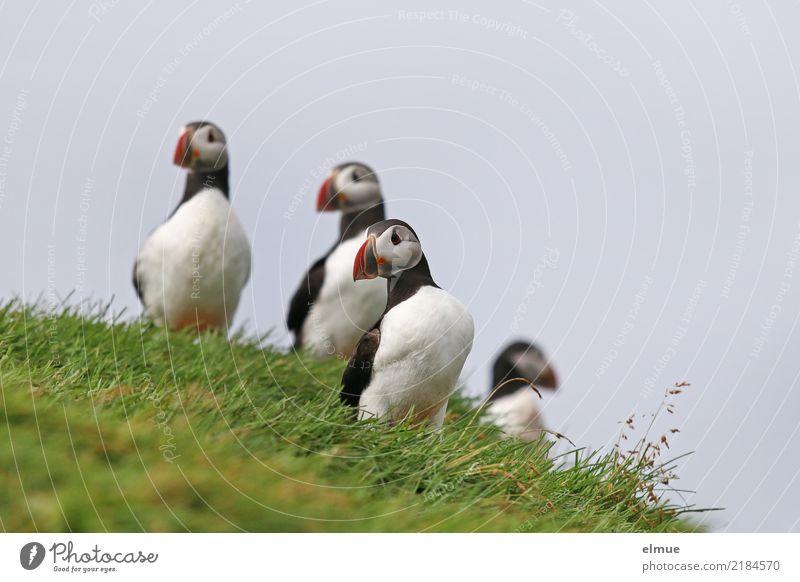 Puffins oOOO Beautiful weather Grass Coast Ocean Atlantic Ocean Iceland Heimaey Wild animal Bird Lunde 4 Animal Observe Stand Esthetic Elegant Free Together