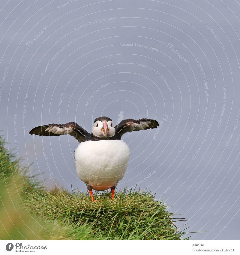 Puffin --8-- Nature Grass Coast Ocean Atlantic Ocean Iceland Heimaey Wild animal Bird Wing Observe Communicate Stand Elegant Beautiful Small Near