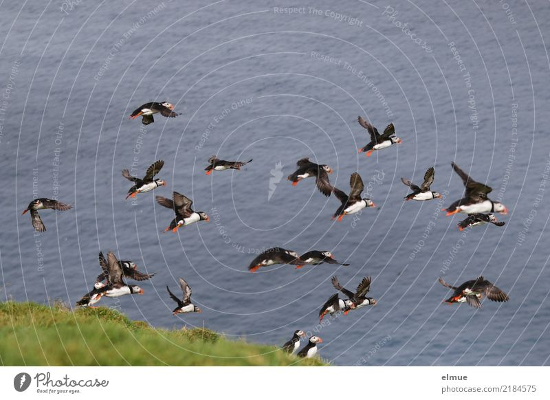 Puffins ~~~~~~ Nature Coast Ocean Atlantic Ocean Heimaey Wild animal Bird Lunde Flock Flying Free Together Infinity Beautiful Small Speed Agreed Romance