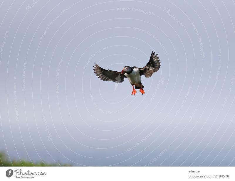 Puffin -O- Nature Cloudless sky Coast Heimaey Bird Wing Lunde Flying Esthetic Elegant Free Small Cute Joie de vivre (Vitality) Wanderlust Effort Movement Speed