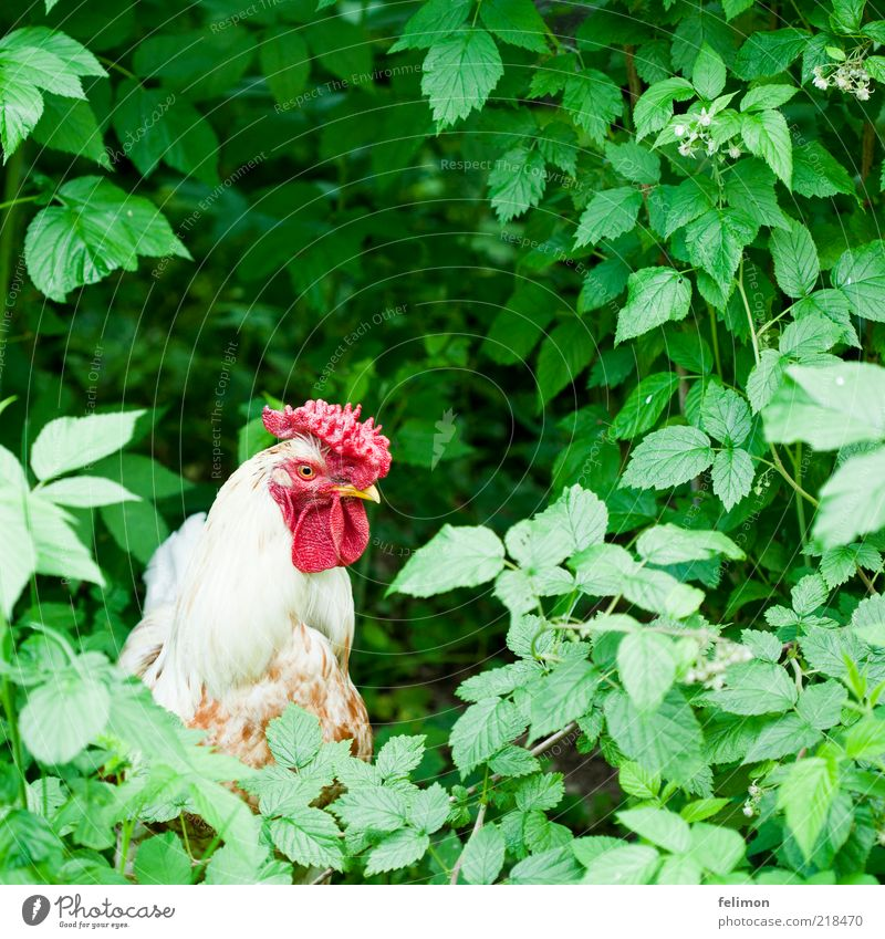 Cocks in the green Environment Nature Plant Animal Bushes Leaf Blossom Farm animal Bird Animal face Feather Crest Beak Eyes Rooster Barn fowl 1 Authentic