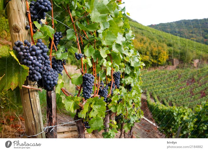 Good vineyard location Fruit Wine Healthy Eating Tourism Agriculture Forestry Winegrower Autumn Agricultural crop Bunch of grapes Vine Vineyard Fragrance
