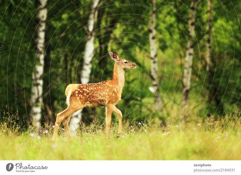 red deer youngster in a glade Child Woman Nature Summer Beautiful Red Loneliness Animal Forest Adults Meadow Natural Grass Small Brown Wild