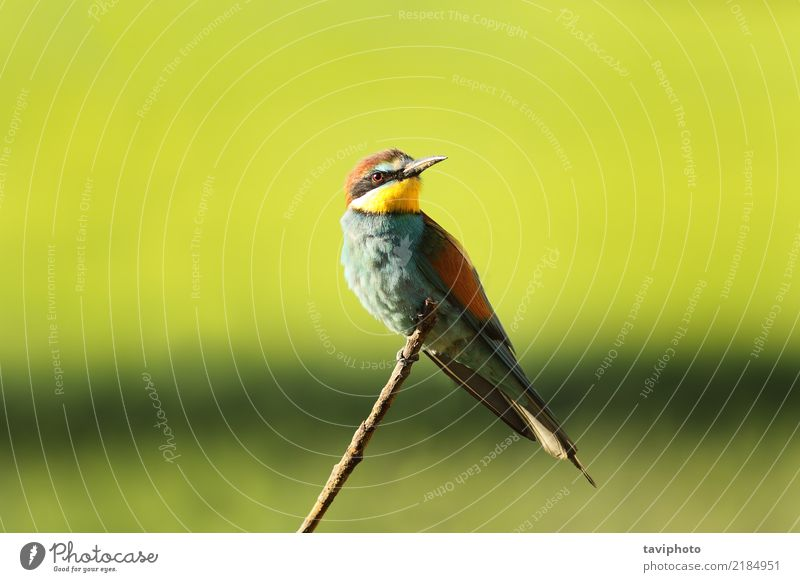european bee eater perched on twig Exotic Beautiful Summer Nature Animal Bird Bee Sit Bright Wild Blue Yellow Green Red Colour bee-eater merops apiaster