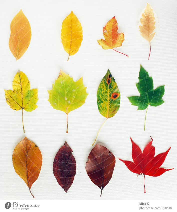 collection Autumn Leaf Dry Multicoloured Colour Collection Maple leaf Beech leaf Autumn leaves Autumnal Row Play of colours Blaze of colour Colour photo