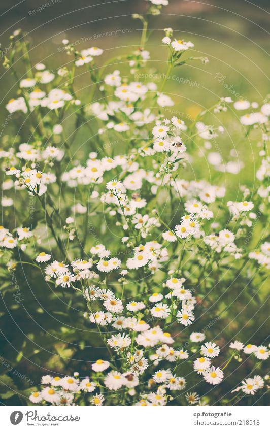 Nature White Flower Plant Meadow Blossom Environment Flower meadow Foliage plant Spring fever Agricultural crop Wild plant