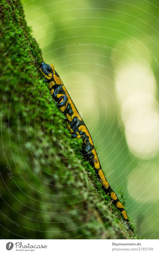 fire salamander Environment Nature Plant Animal Autumn Tree Moss Forest Wild animal Animal face 1 Blue Yellow Green Black Environmental protection Colour photo