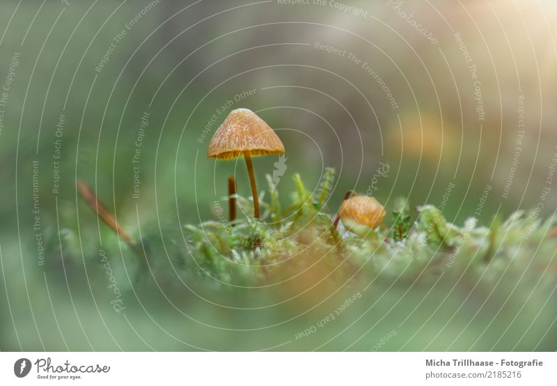Small mushroom in moss Environment Nature Plant Sun Sunlight Autumn Beautiful weather Grass Moss Wild plant Mushroom Mushroom cap Forest Blossoming Illuminate