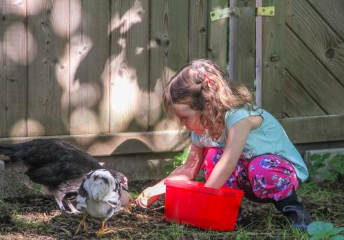 A toddler girl with pigtails feeds chickens in the garden from a red box Child Agriculture Forestry Human being 1 3 - 8 years Infancy Nature Animal birds