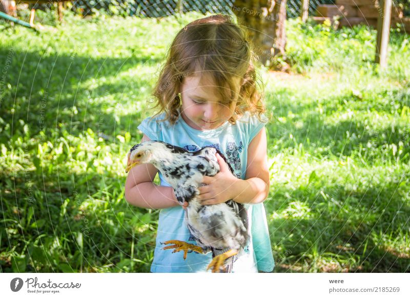 A little girl with blonde hair holds a young chicken in her hands. Child Agriculture Forestry Human being Nature Animal birds Carrying Farm Poultry Geography