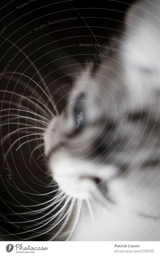 Nature Beautiful Animal Head Gray Cat Moody Esthetic Authentic Soft Animal face Observe Natural Pet Brash Whisker