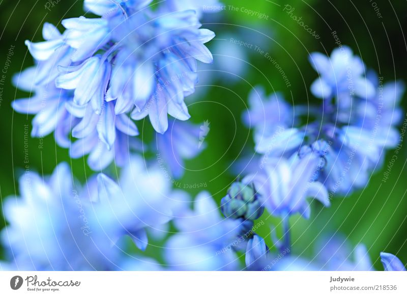 Delicate Blue II Beautiful Environment Nature Plant Spring Summer Flower Blossom Blossoming Natural Green Spring fever Fragrance Pure Colour photo Exterior shot