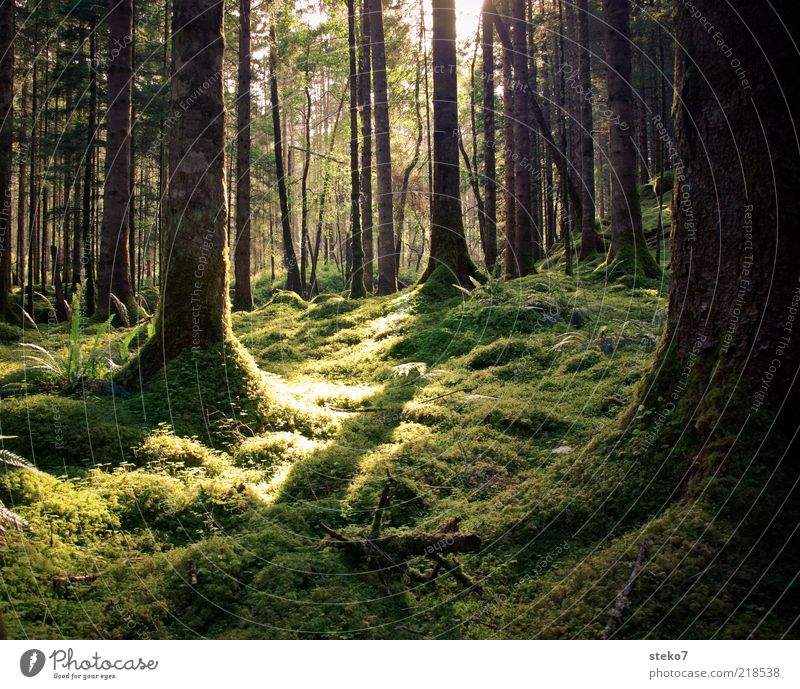 Tree Green Summer Calm Forest Fresh Soft Clean Wild Virgin forest Moss Fern Scotland Sunbeam Great Britain