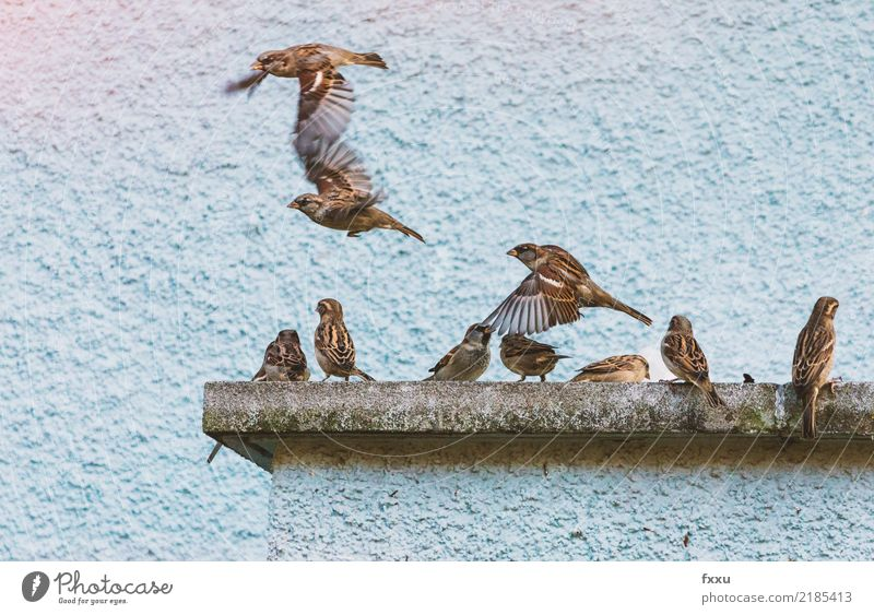 House sparrows in flight Sparrow Flying fly out Friday Weekend Bird