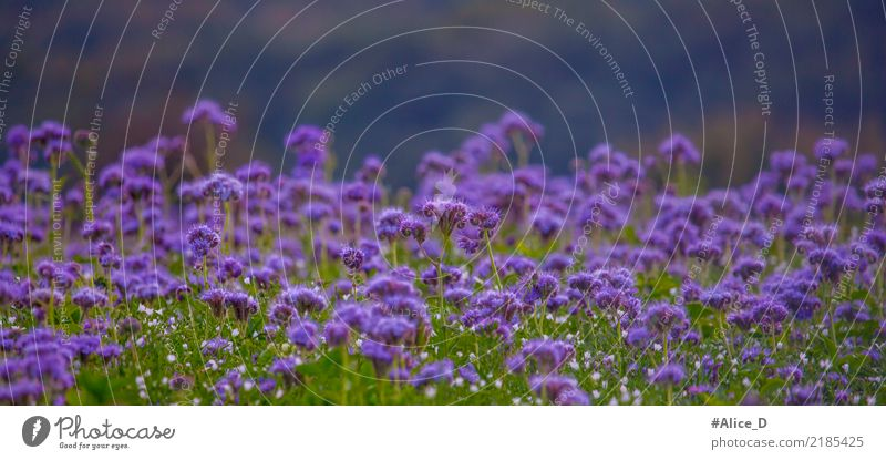 bee pasture Summer Nature Landscape Plant Autumn Flower Blossom Honey flora phacelia Field Fragrance Violet Calm Senses Environment Pollen tanacetifolia Wild