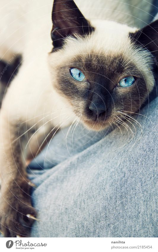 Beautiful siamese cat Animal Pet Cat Claw Paw 1 Baby animal Observe Friendliness Astute Near Curiosity Cute Soft Blue Brown White Moody Trust