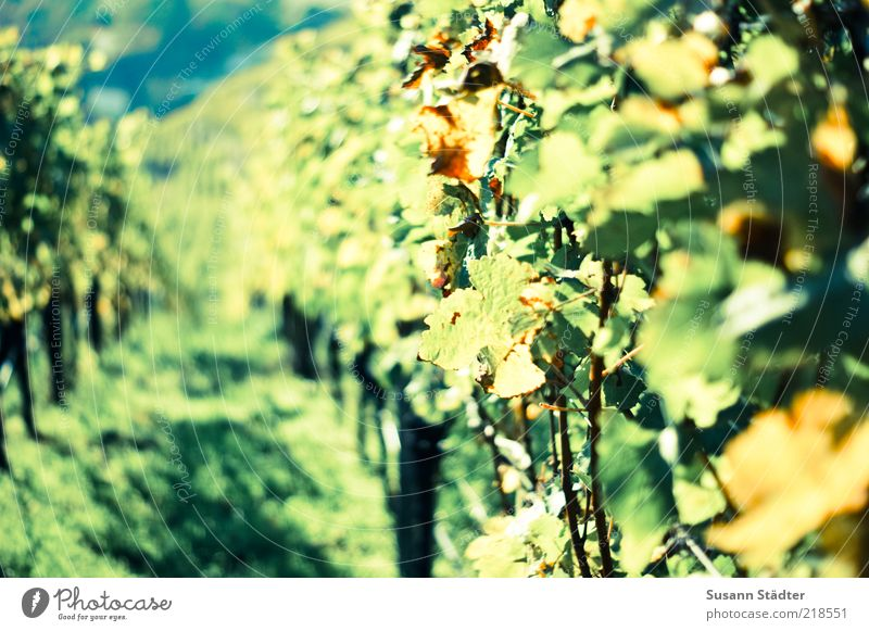 have a good cry Field Hill Blossoming Vine Wine growing expensive Riesling Vineyard Vine leaf Grape harvest Autumn Multicoloured Colour photo Close-up