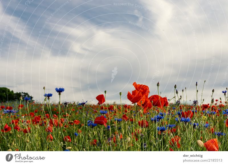 Poppy and cornflower field Environment Nature Landscape Plant Sky Beautiful weather Flower Cornflower Meadow Field Positive Blue Green Red White Life Esthetic