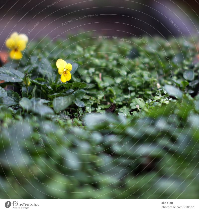 stubborn pansies Plant Autumn Flower Leaf Blossom Pansy Pansy blosssom Blossoming Growth Fragrance Beautiful Yellow Green October Colour photo Exterior shot