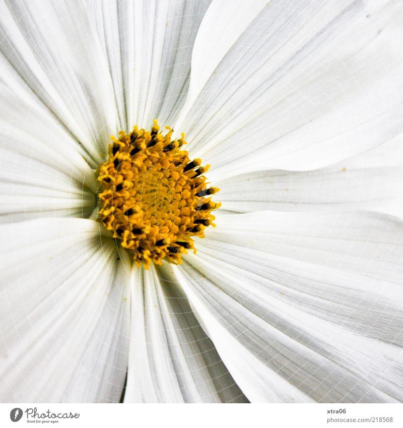 Nature White Flower Plant Summer Yellow Blossom Spring Blossom leave Pistil