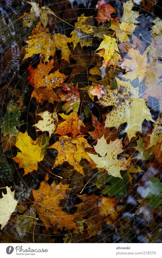 Fell into the water Nature Plant Water Autumn Leaf Maple leaf Maple tree Decline Transience Puddle Colour photo Multicoloured Reflection Bird's-eye view