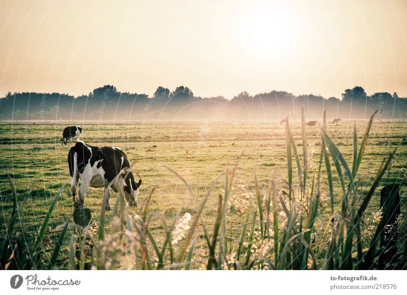Sky Nature Green Beautiful Plant Animal Meadow Landscape Environment Grass Fog Free Natural Agriculture Cow Common Reed