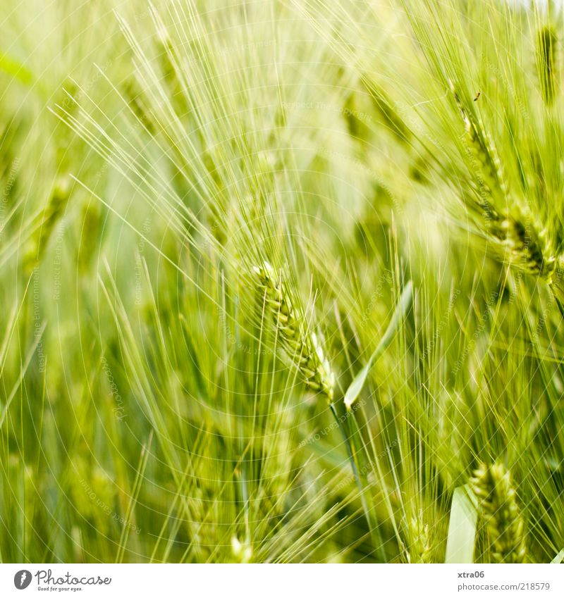 Nature Green Plant Summer Landscape Field Environment Natural Ecological Ear of corn Foliage plant Bright green