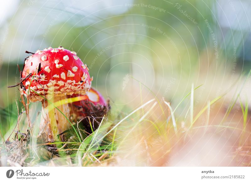 Amanita muscaria Beautiful Decoration Nature Plant Autumn Grass Forest Growth Natural Wild Green Red Dangerous Amanita mushroom Point Mushroom Poison fungus cap