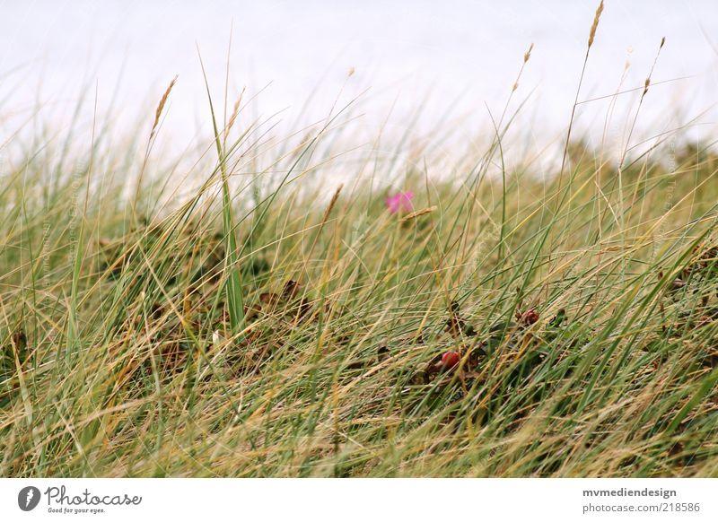 Nature Plant Summer Landscape Grass Coast Wind Nature reserve Habitat Marram grass