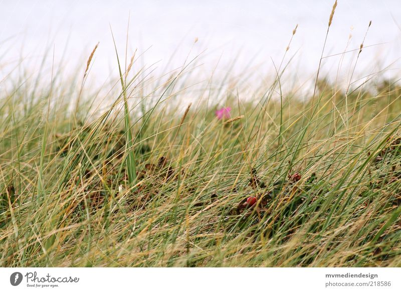 Nature Plant Summer Landscape Grass Coast Wind Nature reserve Habitat Marram grass