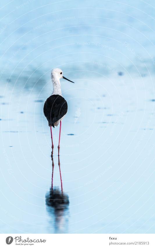 PULZENLÄUFER stilts bird Black-winged stilt Reflection Avocet Bird Wader seabird waterfowl Black & white photo Nature Camargue Arles Saintes Maries de la Mer