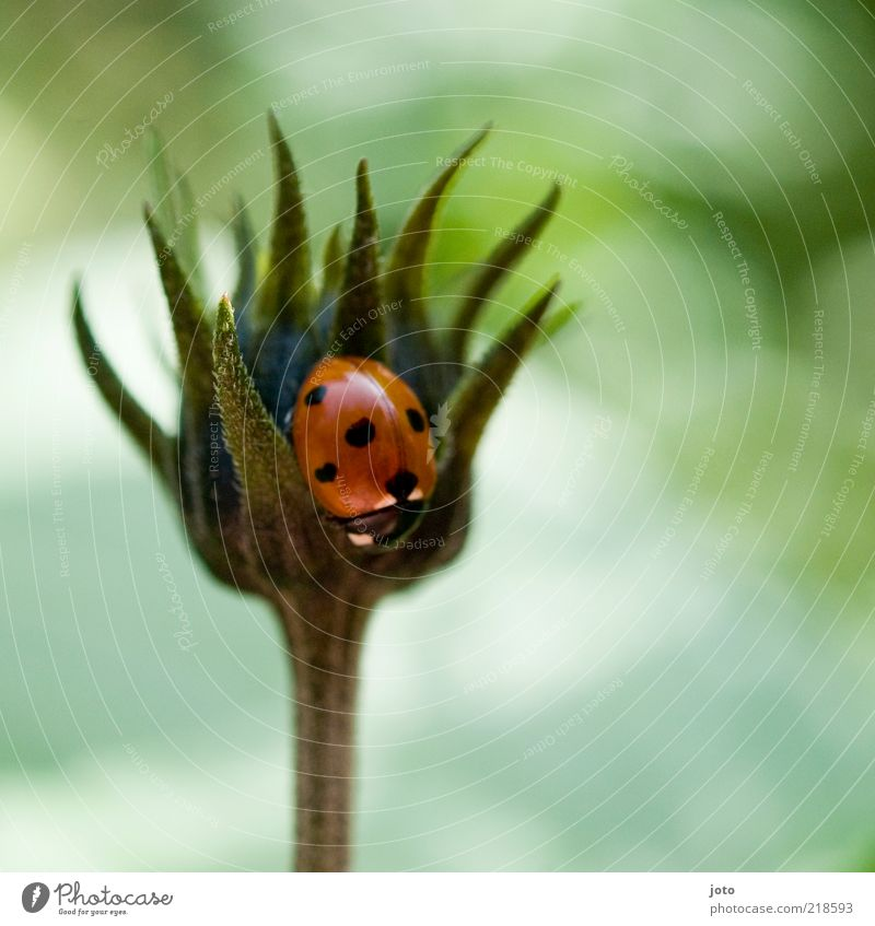 note the small heart Nature Plant Flower Animal Beetle Ladybird Crawl Sit Esthetic Curiosity Cute Red Safety Protection Safety (feeling of) Romance Contentment