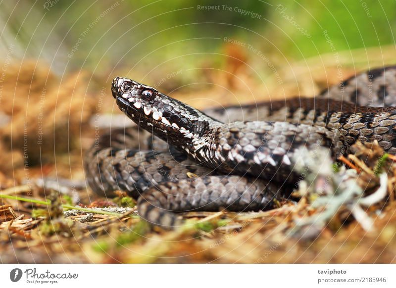 venomous viper on the ground Nature Beautiful Animal Face Gray Brown Fear Wild Wild animal Dangerous Ground Living thing European Poison Reptiles Snake